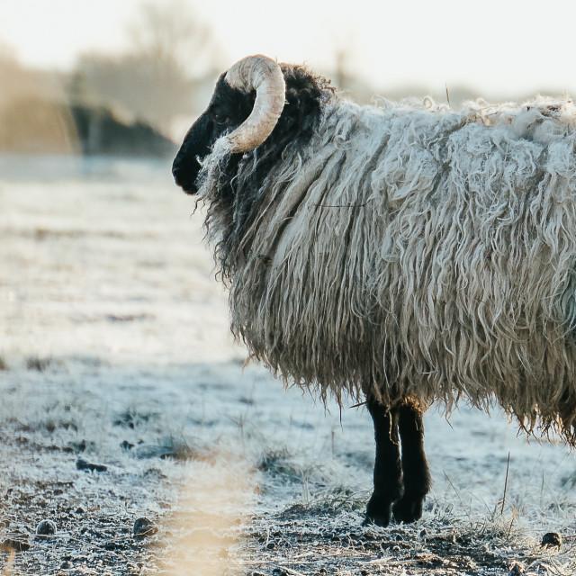 """""""Human sheep"""" stock image"""
