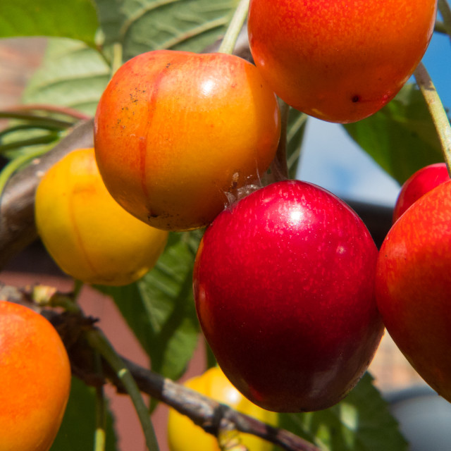 """Cherries on a cherry tree"" stock image"