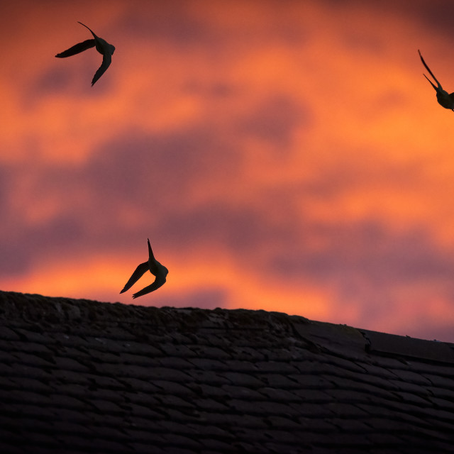 """""""Parakeets silhouetted against a flaming red sky over London"""" stock image"""