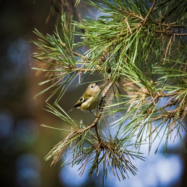 """""""Goldcrest perched in woodland on sunny afternoon"""" stock image"""