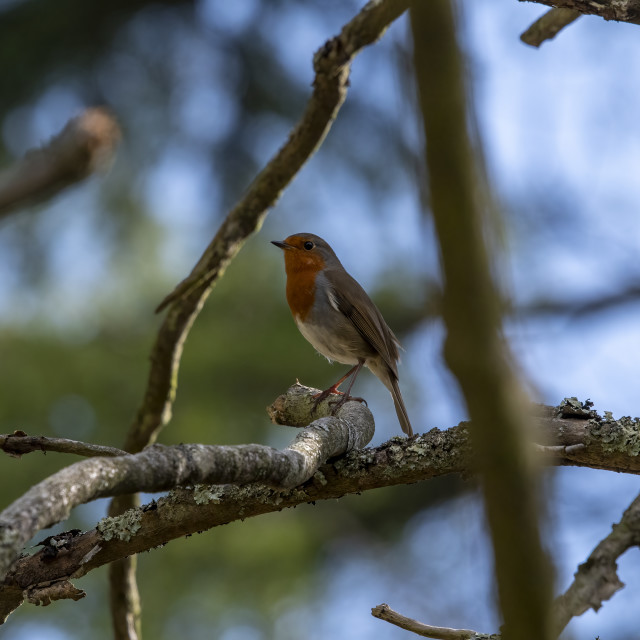 """""""Robin framed by branches in English woodland"""" stock image"""