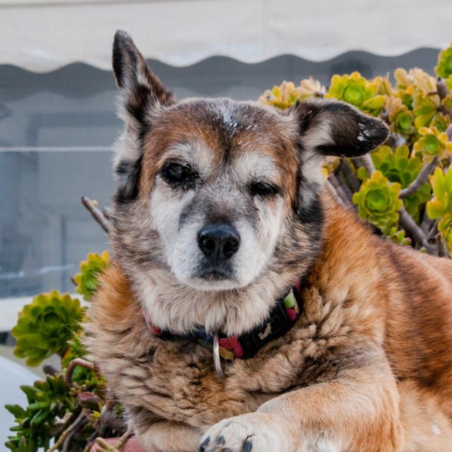 """Scruffy Dog of Santorini"" stock image"
