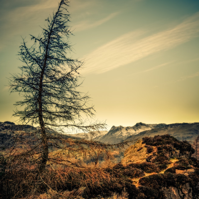 """Larch on Holme Fell"" stock image"