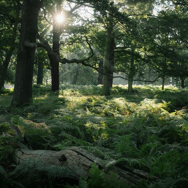 """Soft, Forest Light"" stock image"