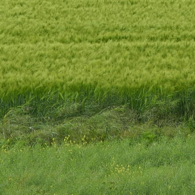 """""""Deer in Wheat Field"""" stock image"""