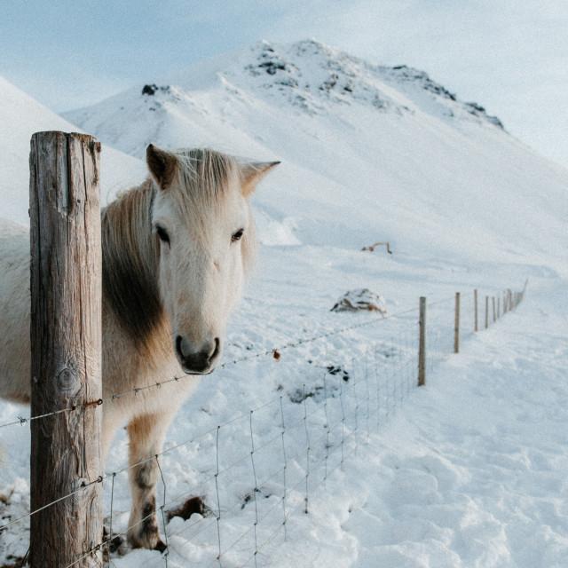 """""""Lone Icaelandic Horse"""" stock image"""
