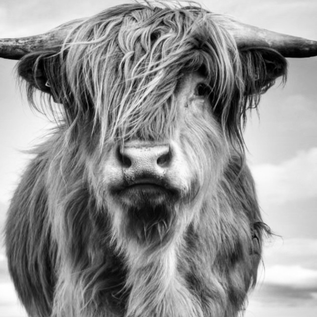 """""""In black and white Angus"""" stock image"""