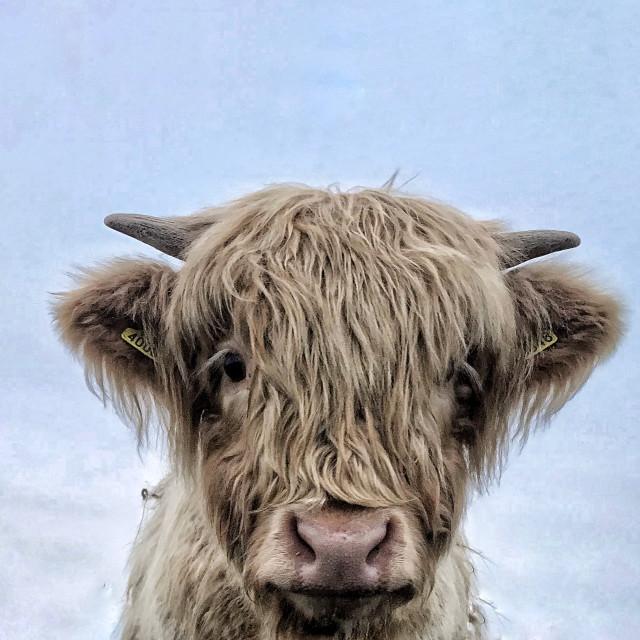 """""""Angus calf"""" stock image"""