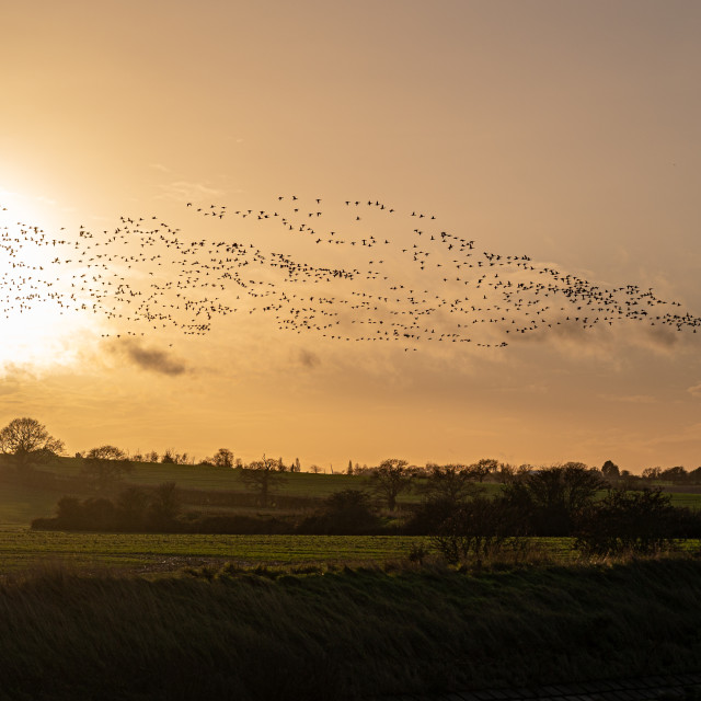 """""""Brent Geese Over Hamford Waters At Sunset"""" stock image"""