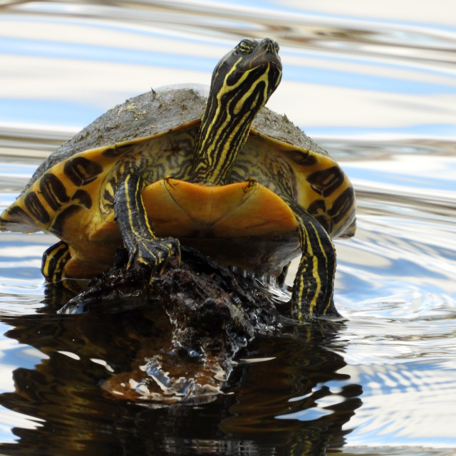 """Turtle on Pastel Water"" stock image"