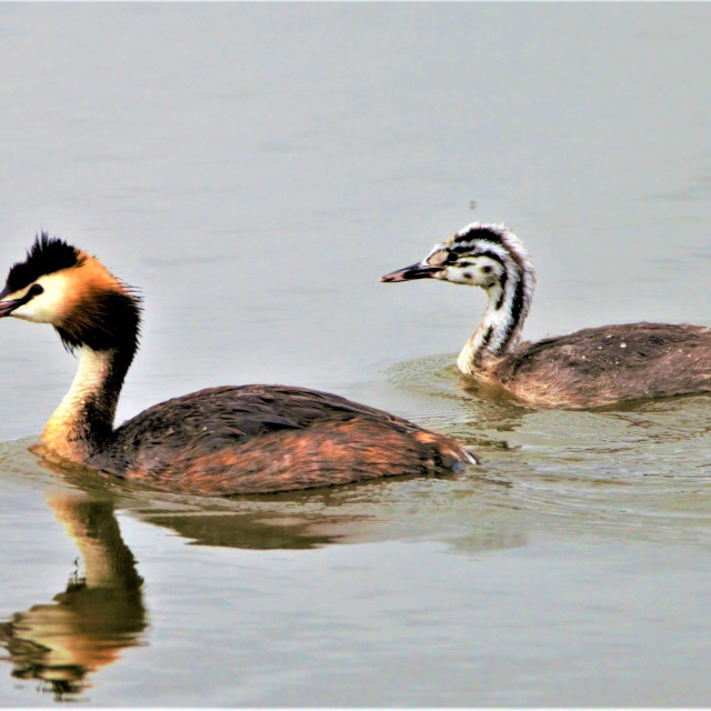 """""""Mother Great Crested Grebe and her young"""" stock image"""
