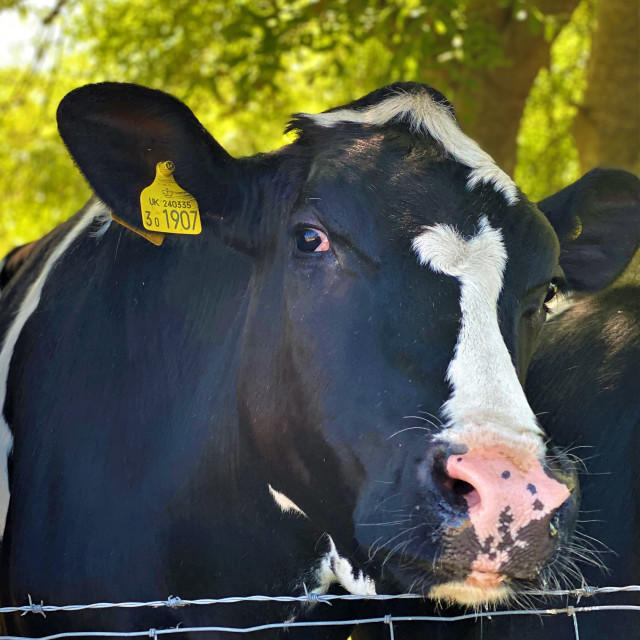 """Holstein Friesian cattle"" stock image"