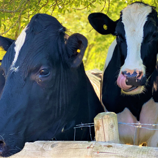 """""""A couple of Holstein Friesian cattle"""" stock image"""
