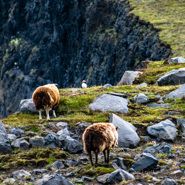"""""""Puffin and sheep"""" stock image"""