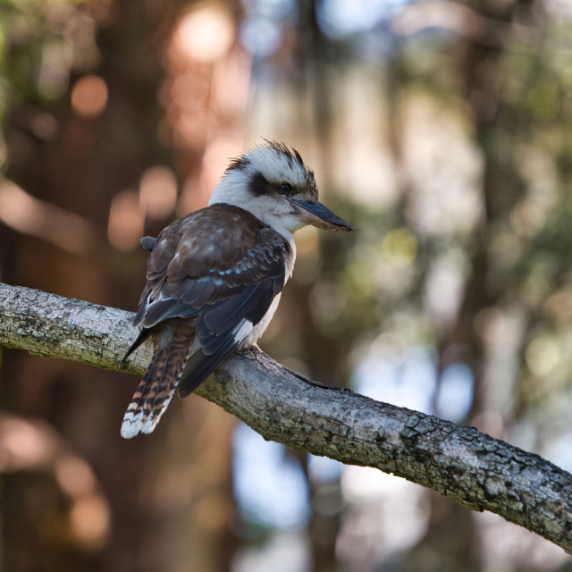 """The Kookaburra"" stock image"