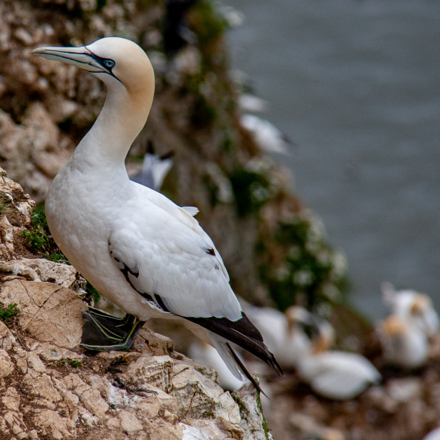"""Seabird, Gannet Perched on Cliff at the Bempton Cliffs RSPB Reserve on the Yorkshire Coast, England."" stock image"