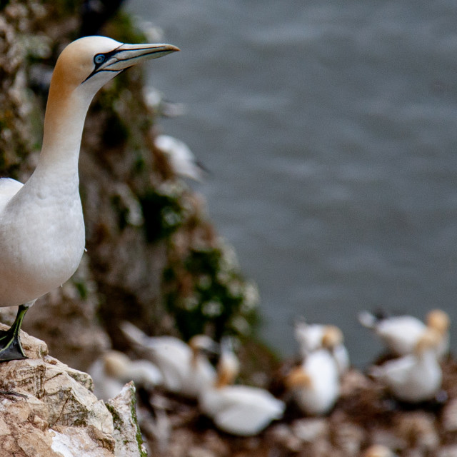 """Seabird, Gannet Perched on Cliffs at the Bempton Cliffs RSPB Reserve on the Yorkshire Coast, England."" stock image"