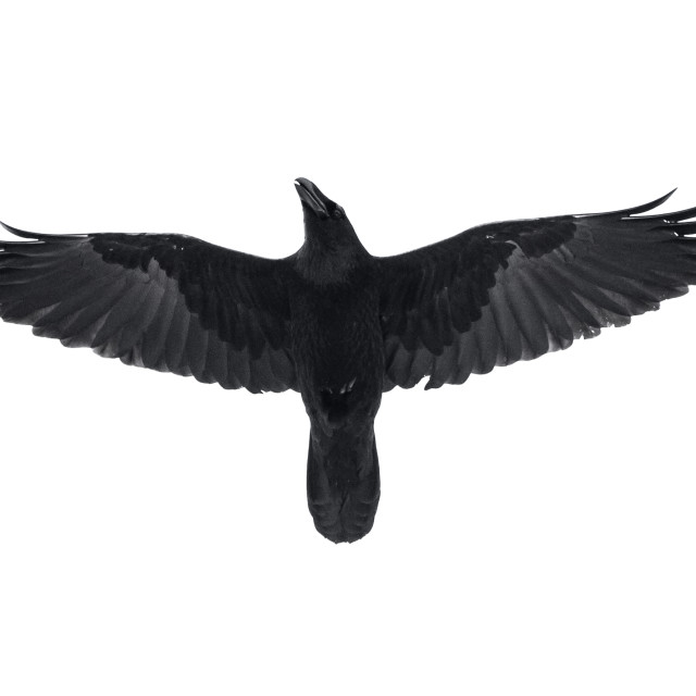 """""""Isolated raven in flight with fully open wings"""" stock image"""