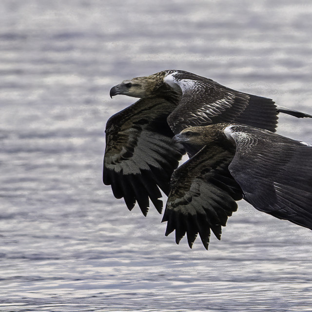 """""""A pair of white bellied sea eagles flying across the sea"""" stock image"""