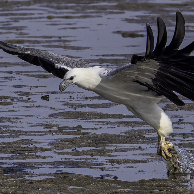"""""""White bellied sea eagle dive action"""" stock image"""