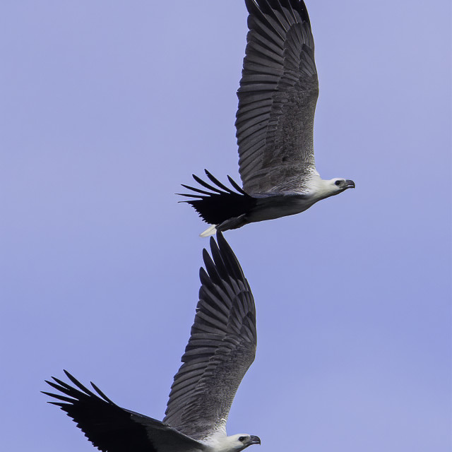 """""""A pair of white bellied sea eagle flying in sync"""" stock image"""