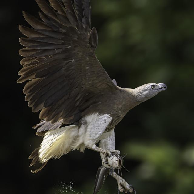 """Grey headed fish eagle caught a cat fish"" stock image"