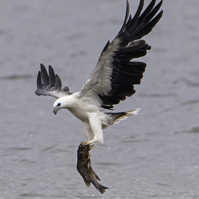 """White bellied sea eagle caught a big grouper"" stock image"