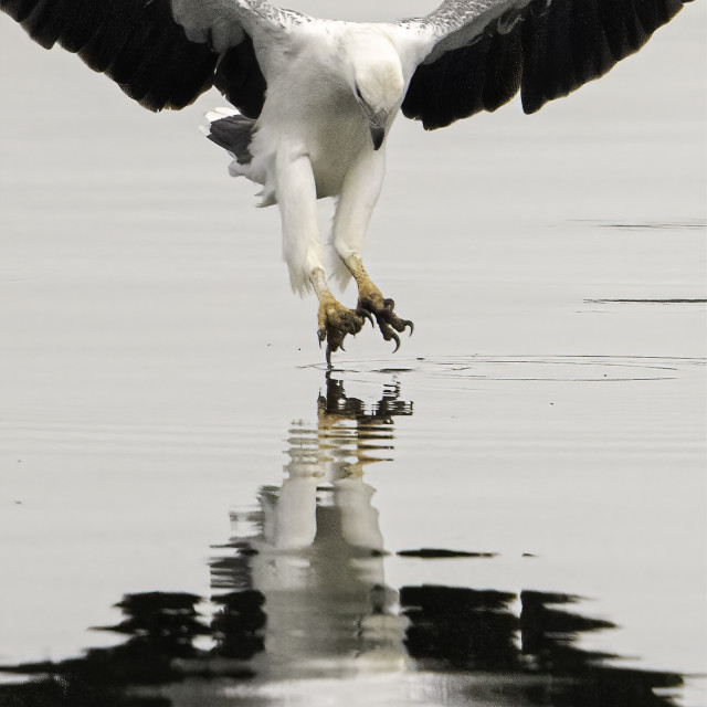 """""""White bellied sea eagle doing a graceful ballet on water"""" stock image"""
