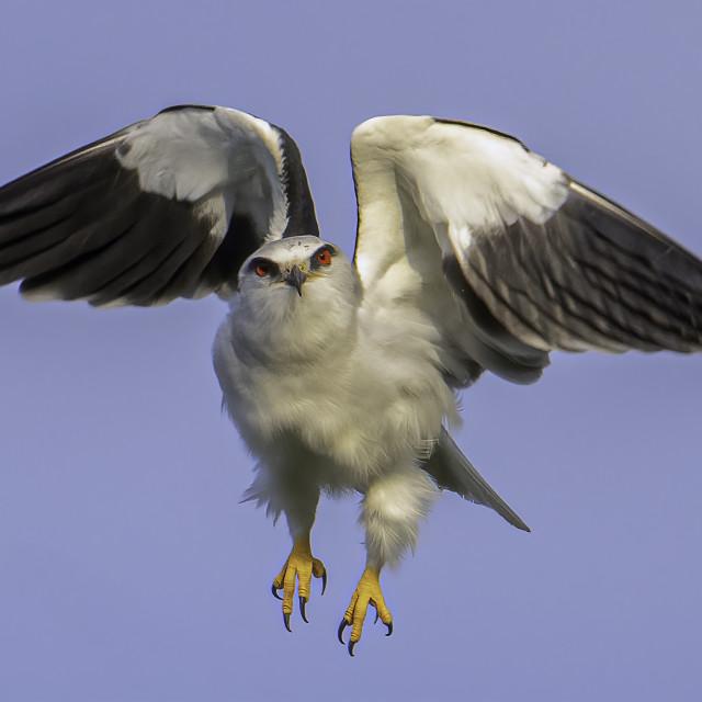 """Hovering black winged kite"" stock image"
