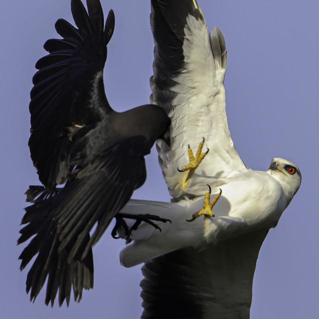 """Air battle between black winged kite vs crow"" stock image"