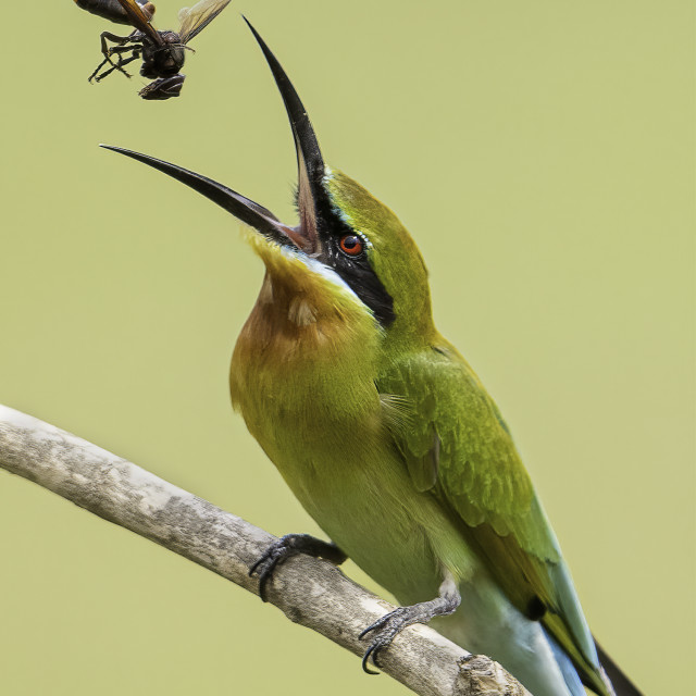 """""""Blue tailed bee eater tossing a wasp"""" stock image"""
