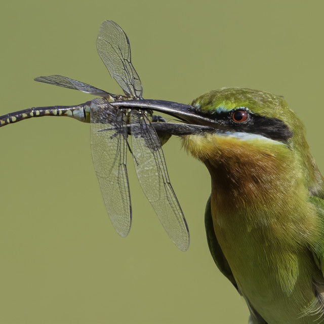 """""""Blue tailed bee eater with a big drangonfly in beak"""" stock image"""
