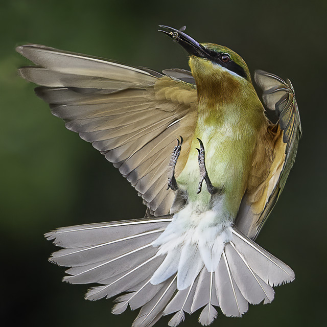 """""""Blue tailed bee eater caught a small insect in mid air"""" stock image"""