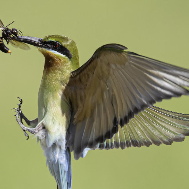 """""""Blue tailed bee eater spreading its wings"""" stock image"""