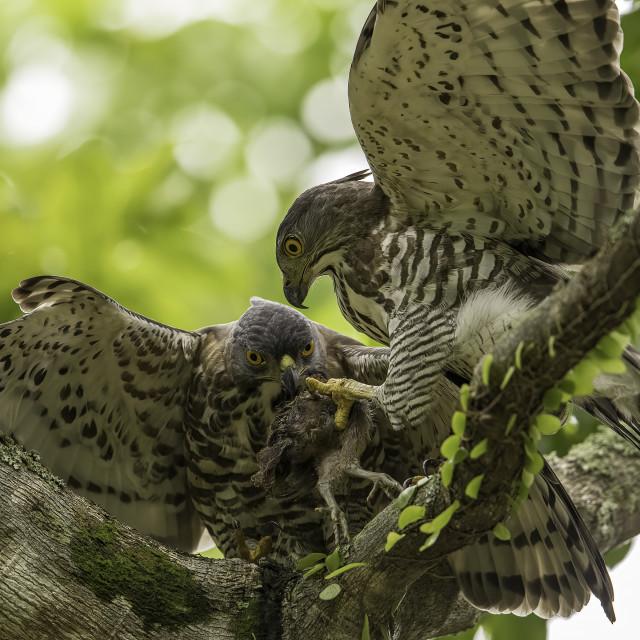 """""""Crested goshawk feeding"""" stock image"""