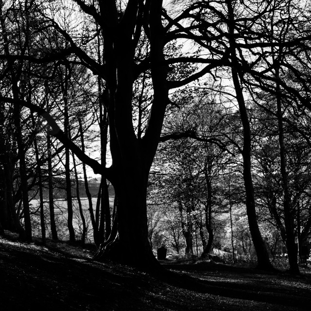 """""""Silhouetted Trees"""" stock image"""