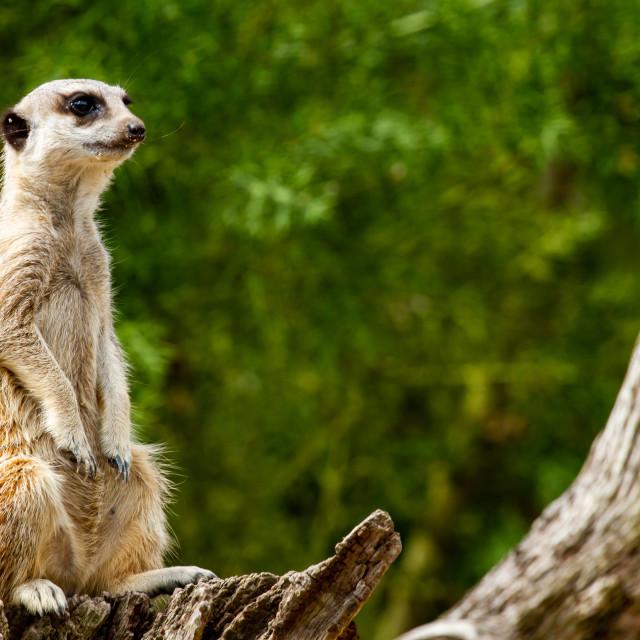 """Meerkat on guard"" stock image"