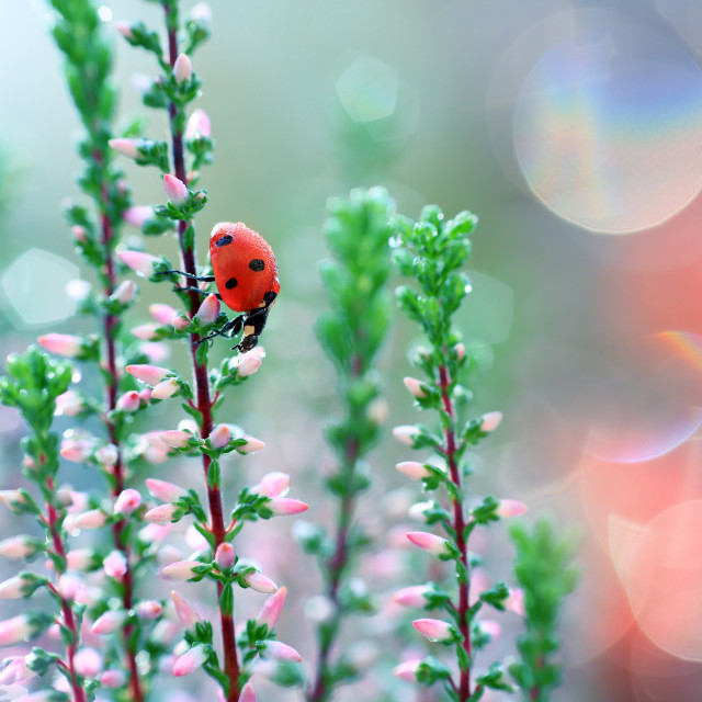 """A ladybug walks on heather flowers and looks for food and accommodation to spend the night"" stock image"