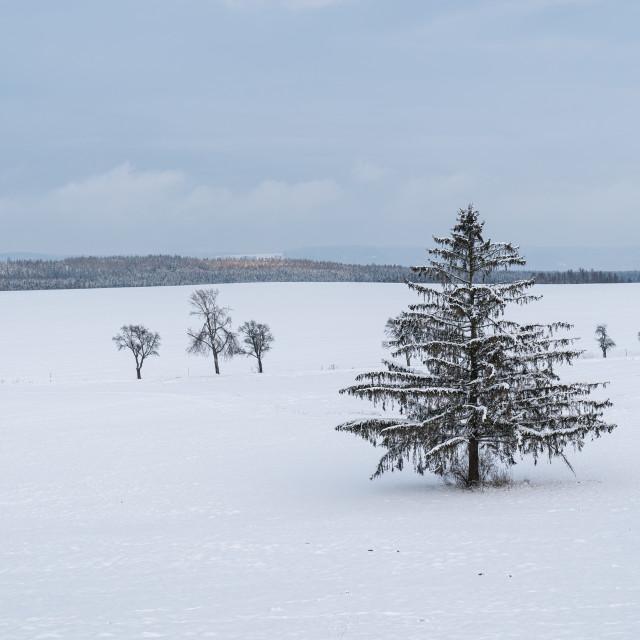 """""""Winter landscape - frosty winter spruce tree on winter field"""" stock image"""