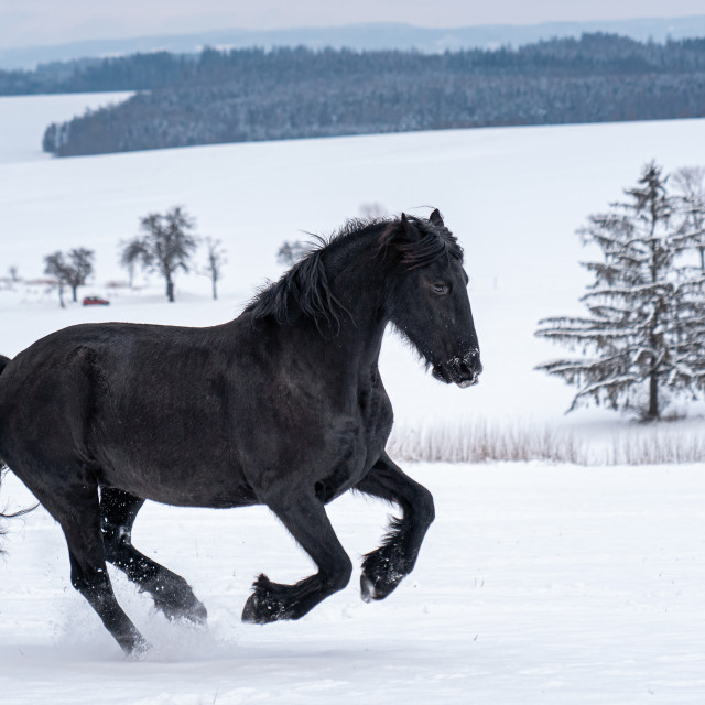 """Friesian stallion running in winter field. Black Friesian horse"" stock image"