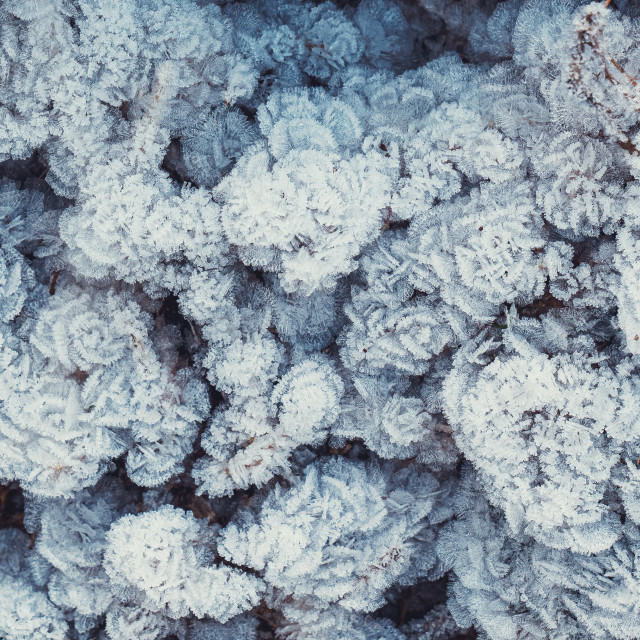 """""""Frost patterns on plant, winter hoarfrost background."""" stock image"""