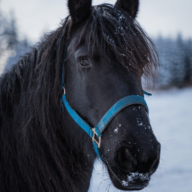 """""""Portrait of a friesian horse on the background of the winter for"""" stock image"""