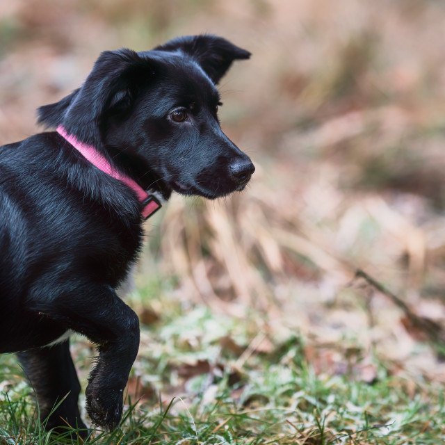 """""""Little black dog playing on the grass. Little crossbreed dog."""" stock image"""
