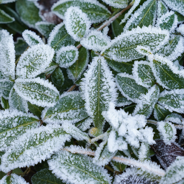 """""""Green leaves of plants covered with frost"""" stock image"""