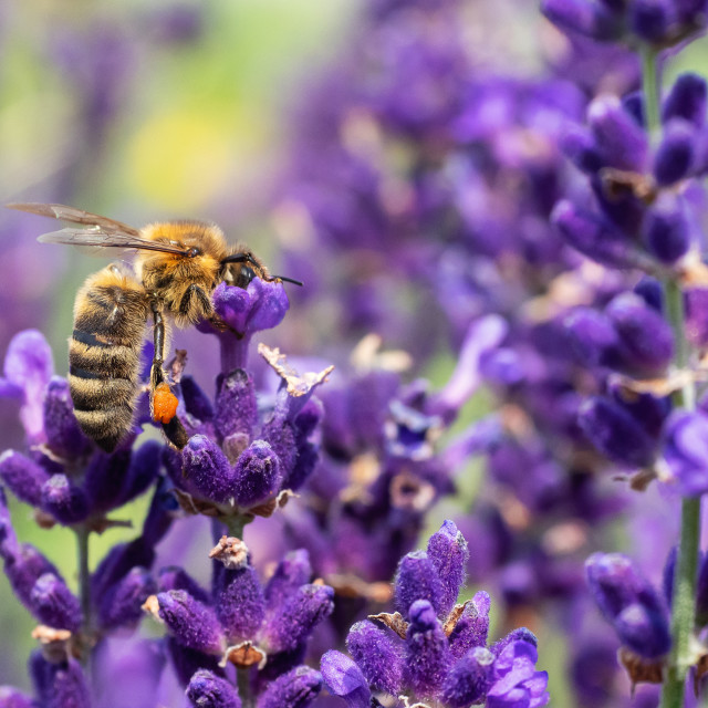 """""""The bee pollinates the lavender flowers."""" stock image"""