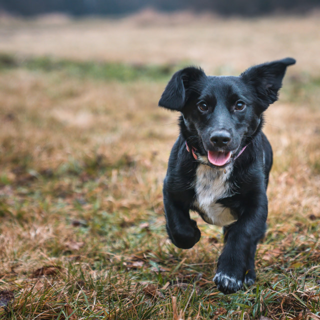 """""""Happy little crossbreed dog running on the grass."""" stock image"""