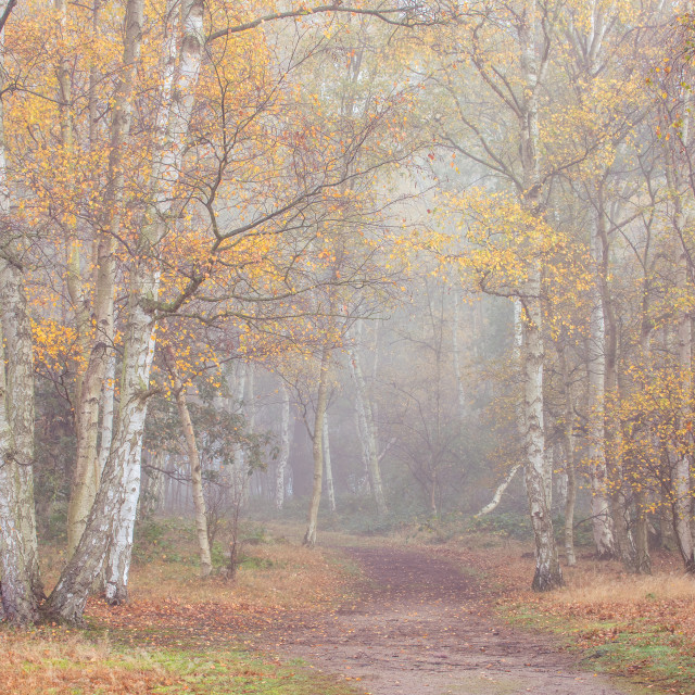 """Misty Morning Woodland Walk"" stock image"