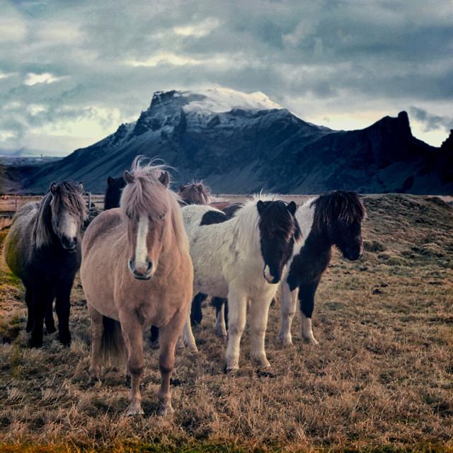 """""""Icelandic ponies"""" stock image"""