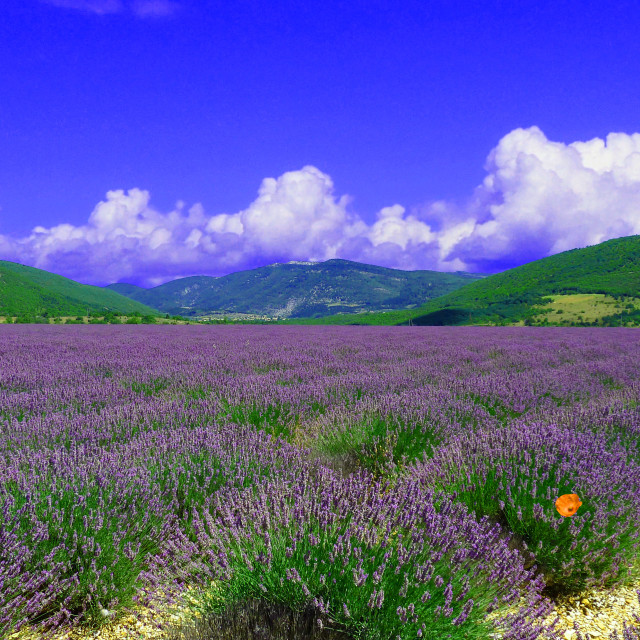 """""""Lavender fields near to Banon Provence"""" stock image"""