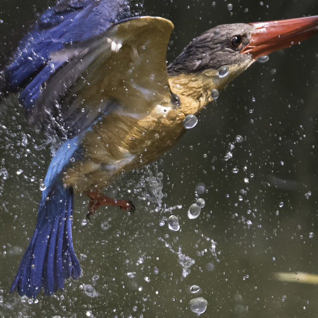 """""""Stork billed kingfisher taking a dip"""" stock image"""